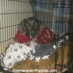 Weimaraner being crate trained