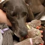 Weimaraner dog with puppies