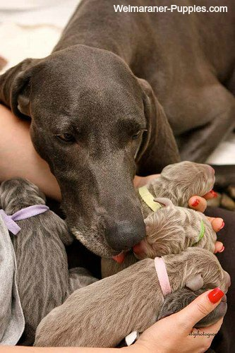 Dog Pregnancy Symptoms