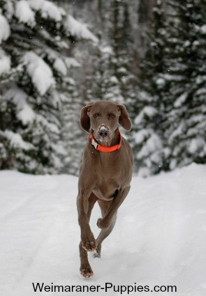 Weimaraner enjoying fun dog games