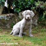 Housebreaking puppy Weimaraner