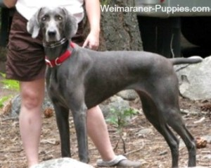 How to Groom a Dog is easy for Weimaraners like this one