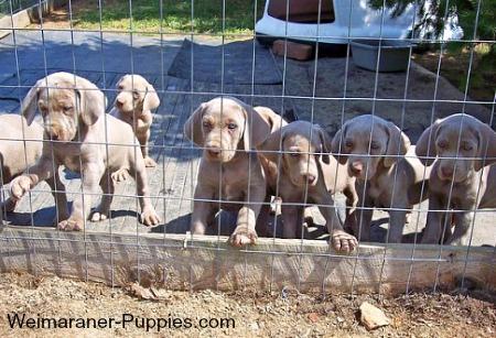 AKC Breeders litter of Weimaraner puppies
