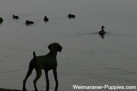 Training hunting dogs for duck hunting