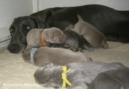 Weimaraner breeders carefully select parents for their dog litters.