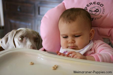 Consider Weimaraner dog breed characteristics is you have young children like this cute baby in a high chair