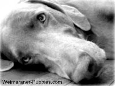 Weimaraner rescue dog