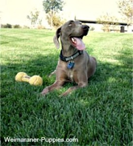 The Weimaraner temperament can be gentle, like this adult Weimaraner lying in the grass.